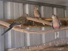 Bourke Parrots Aldinga Beach Morphett Vale Area Preview