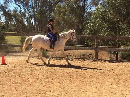 Quarter Horse Cross Mare