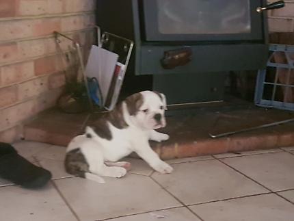 Aussie Bulldogs
