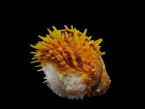 Sea shells - Chama pacifica 50mm
