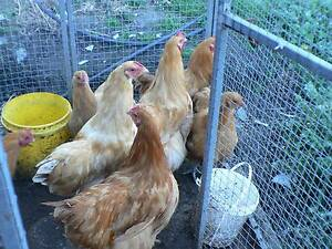 hens and roosters Buff Orpington George Town George Town Area Preview