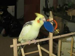 Lost Cockatiel Wyong Wyong Area Preview