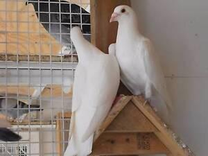 Busschaert racing pigeons Tanah Merah Logan Area Preview