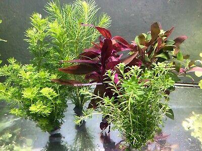 40 Aquariumpflanzen Wasserpflanzen Aquarium Bunter Mix gegen Algen (€ 0,41/Stk.)