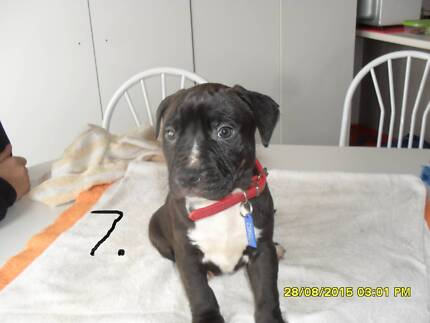 American Staffy pup Mill Park Whittlesea Area Preview