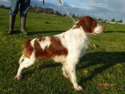 brittany spaniel pups for sale