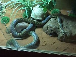 2 Stimson Pythons + enclosure and stand BARGAIN! Beechboro Swan Area Preview