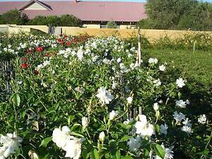ROSES NURSERY - STANDARD ICEBERG ROSE BUSHES - ALL $45.00 EACH Cannington Canning Area Preview