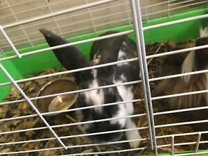 Free Bonded Pair of Bunnies