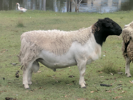 Dorper Ram (swap or sell)