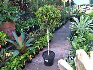 Large Ficus Emerald Topiaries! Springwood Logan Area Preview
