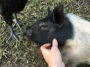 Miniature male pig Kurrajong Hills Hawkesbury Area Preview