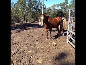 QH mare 12yo 14.1hh Grafton Clarence Valley Preview