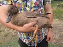 Ducks for Sale Newborough Latrobe Valley Preview