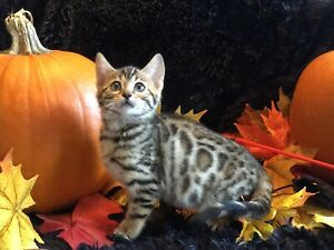 Registered Bengal kitten