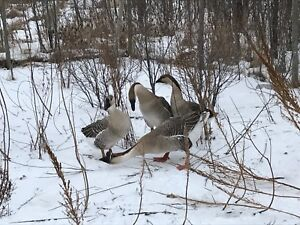 4 Chinese Swan Geese for sale