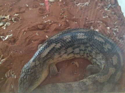 Lizard - Blue Tongue Spotswood Hobsons Bay Area Preview