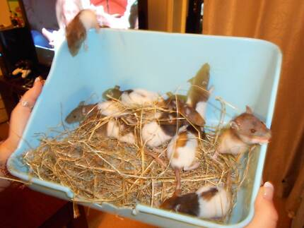 baby rats for sale Broadbeach Waters Gold Coast City Preview