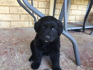 Labrador X Great Dane Puppies Liverpool Liverpool Area Preview