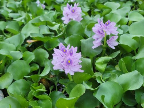 12 PURPLE, (insect free) Floating Water HYACINTHS (Pond Filter) Free Shipping