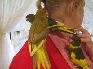 Kakariki babies handreared Palmwoods Maroochydore Area Preview