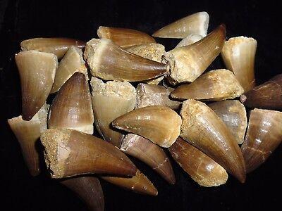 Sehr großer Mosasaurus Zähn Khouribga Marokko Dinosaurier zahn fossilien haizahn