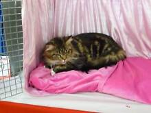 CHAMPIONSHIP CAT SHOW Felixstow Norwood Area Preview
