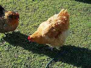 Fertile Buff Orpington Eggs Samford Valley Brisbane North West Preview
