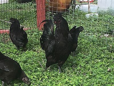 1 Ayam Cemani Egg Fertile Hatching Eggs Black Chicken Rare Birds  No Gmo