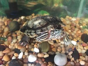 Free red eared slider turtle
