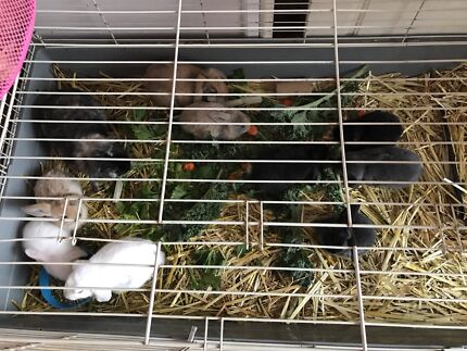 Mini lop Baby Bunnies Rabbits for sale Pure Bred