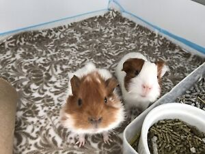 Bonded baby male guinea pigs