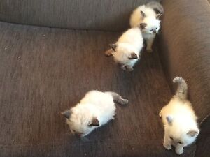 Purebred Ragdoll kittens Oakey Toowoomba Surrounds Preview