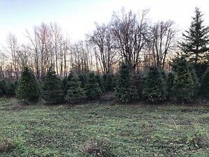 Fresh Christmas trees / Art's tree farm
