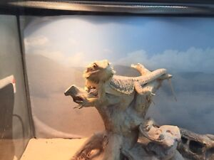 Healthy male bearded dragon 1-1/2 yrs old with tank/accessories