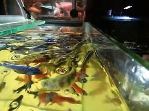 African Cichlids Premium food Balgowlah Manly Area Preview