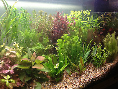 50 Live Tropical Aquarium Aquatic Fish Tank Plants SUPERB QUALITY & VALUE mixed