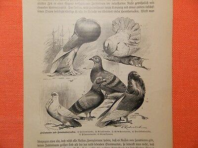 Haustaube Felsentaube Möwchentaube Brieftaube Perücken Taube  Holzstich von 1893 (Haus Von Perücken)