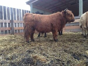 Highland Bull for sale