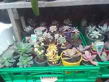 Beautiful succulent plants $2 each Bidwill Blacktown Area Preview