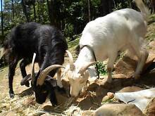 GOATS.....2 FRIENDLY GOATS NEED NEW HOME Upwey Yarra Ranges Preview