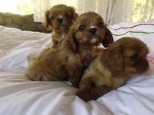 Pedigree Toy King Charles Cavalier Puppies East Lismore Lismore Area Preview