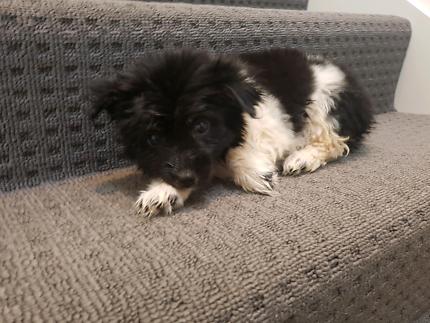 Maltese x terrier puppys for sale