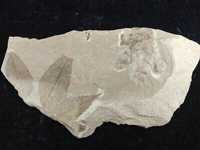 Leaf Fossil Platanus wyomingensis Lygodium Green River Formation Bonanza Utah