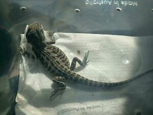Wanted: Wanting dragons/lizards