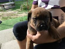 Rottweiler X Mastiff Dianella Stirling Area Preview