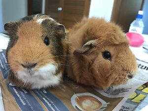 Guinea pigs ( cute as!) Freshwater Manly Area Preview