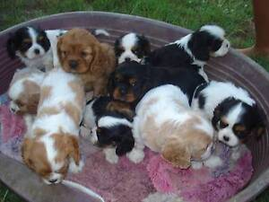 CAVALIER KING CHARLES SPANIEL PUPPIES Ebenezer Ipswich City Preview