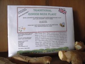 Traditional Ginger Beer Plant - alcoholic or non alcoholic - FREE DELIVERY