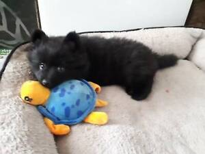 Pomeranian Puppy Purebred